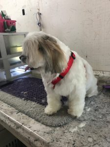 Bullet Flanders - clean, fresh dog with trimmed nails, shampooed hair, groomed, gland cleaning etc.